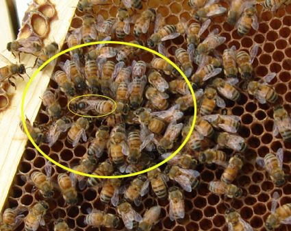 queen bee laying eggs - photo #18
